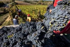 vendemmia-experience-Fattoria-del-Colle-Toscana