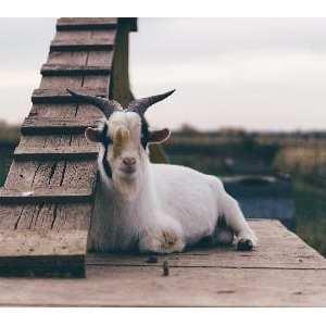 Una capra