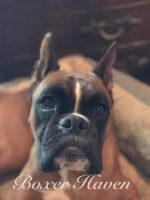 Boxer Puppies For Sale In Florida Boxer Breeders And Information