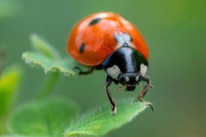 Coccinelle abili predatori di insetti dannosi per le tue piante sono un ottimo alleato alla lotta biologica, comprale su Cinogarden!