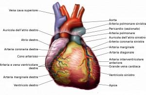 Anatomia_del_cuore