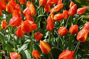 Olanda, tulipani