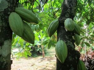 La pianta del cacao con i suoi frutti ancora acerbi