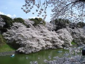 Fiori di ciliegio nel Palazzo Imperiale di Tokyo