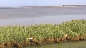Delta del Po rami meridionali, Sacca di Scardovari, airone cinerino