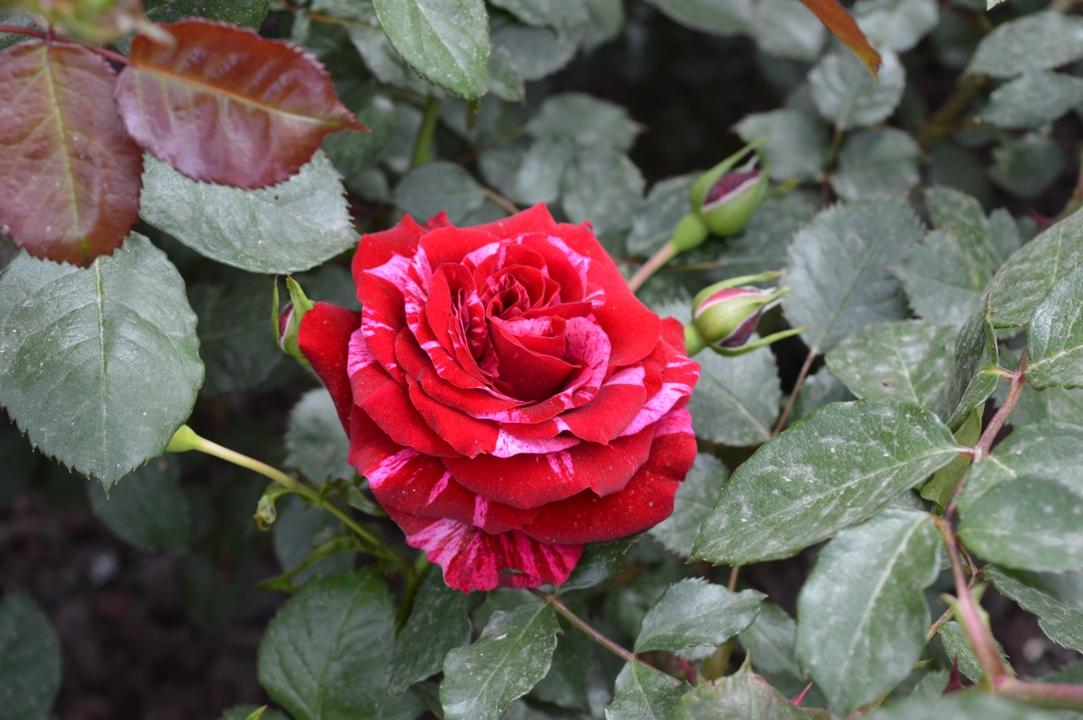 Fiori Che Assomigliano Alle Rose.10 Fiori Piu Belli Esperienziando Vitae