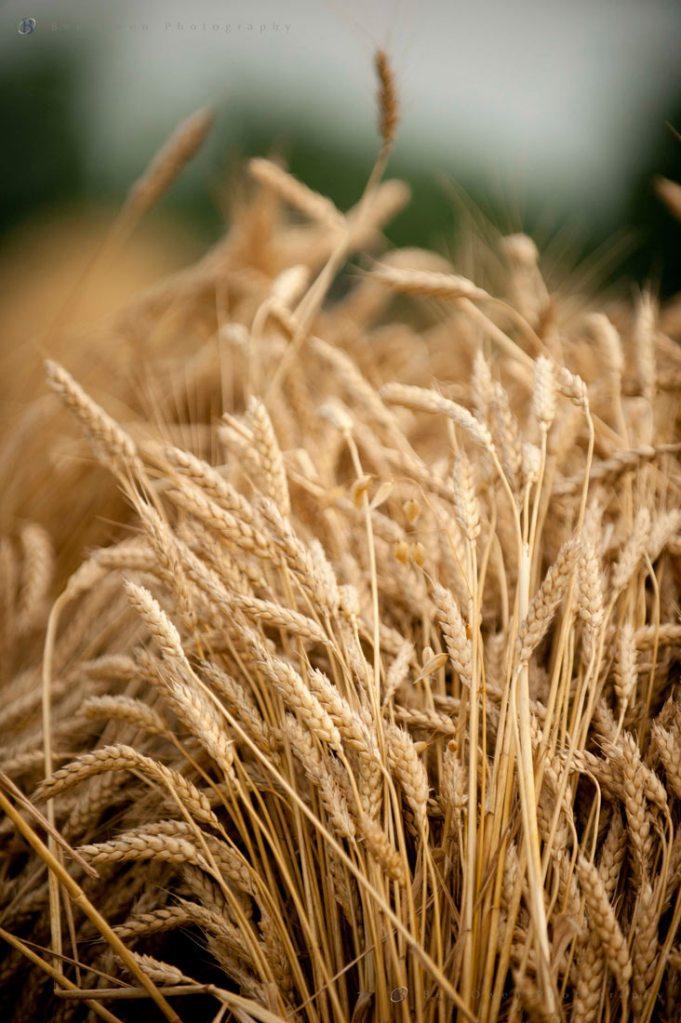 Wheat Shock