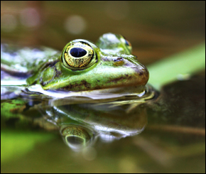 New research has found that atrazine, a chemical used in pesticides, causes infertility and sex changes in frogs
