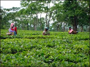 An Assam tea farm in India