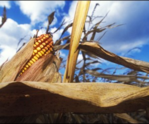 A South American drought keeps global grain reserves tight, but it could mean good things for North American corn producers.