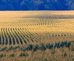 Droughts Hit World's Agricultural Regions: Without Water, U.S. Corn Crop Faces Setbacks