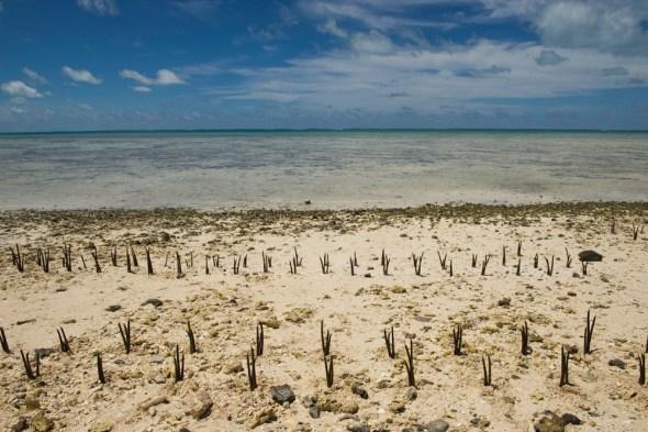 kiribati mangroves climate change