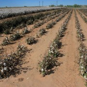 Cotton irrigation dryland farming Ogallala Aquifer Texas