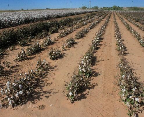 Cotton irrigation dryland farming Ogallala Aquifer Texas