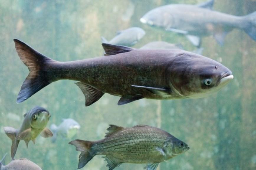 water Great Lakes Basin watershed Asian carp Mississippi River Basin bighead carp