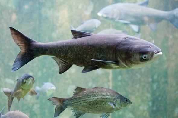Asian carp bighead carp Great Lakes Lake Erie invasive species