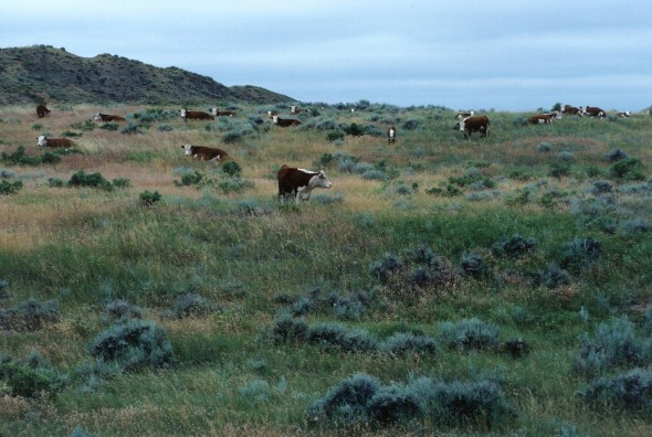 cattle Colorado US drought Midwest food beef