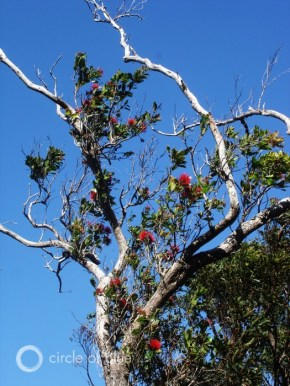 'Ohi'a Tree Hawaii Aiea Loop Trail Ko'olau Mountains evapotranspiration native forest plants invasive species