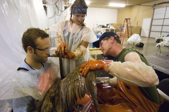 Oil is cleaned off a bird at a animal rehabilitation center following the 2010 oil spill near Marshall, Michigan. The largest inland spill in U.S. history originated from Enbridge's ruptured Line 6B.