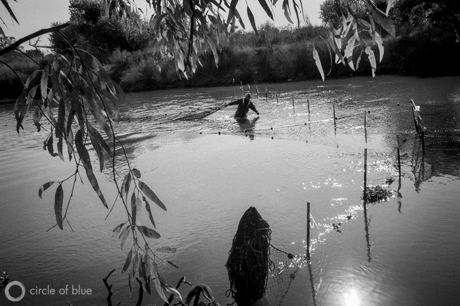 Bureau of Reclamation Fisheries Biologist Zak Sutphin checks a fish trap set in the San Joaquin River near the town of Newman in California's Central Valley. The trap, also known as a