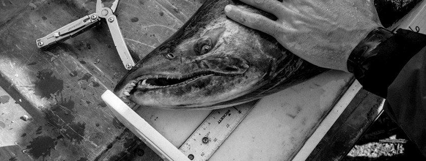 """A male Chinook Salmon is measured and tagged after being caught in a """"Fyke Net,"""" in the San Joaquin River. The fish will be transported upstream by truck, bypassing obstacles, on its way to the historic Salmon spawning grounds near Fresno in the Sierra Nevada mountains."""