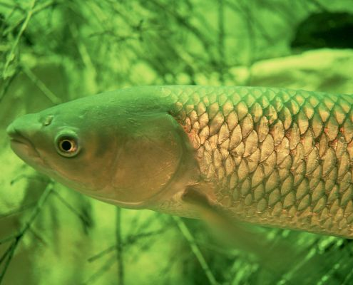 Grass carp Aquatic Invasive species Asian carp Lake Erie U.S. Fish and Wildlife Service Great Lakes Threat