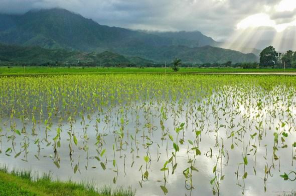 Taro Kalo fields Kauai Hawaii