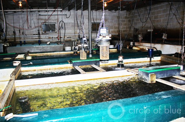 Aquaculture Great Lakes Harrietta Hills Dan Vogler Hatchery Trout Sierra Club Anglers of the Au Sable