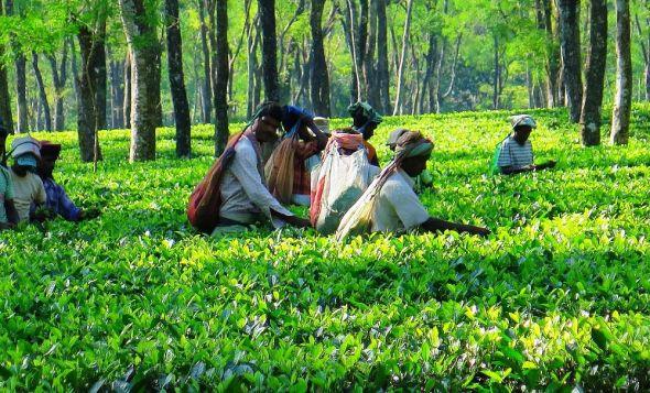 India Assam tea garden