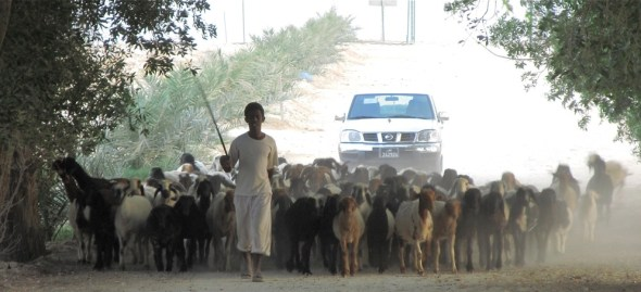 Doha Qatar desert shepherd flock Saudi Arabia sustainable development goals water energy food Keith Schneider Circle of Blue