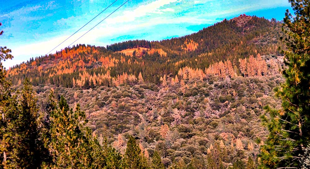 Ponderosa pine forest dead trees fire California drought