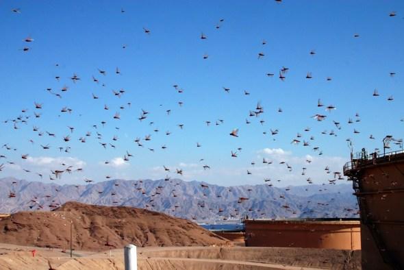 Locust swarm Israel Horn of Africa food security hunger El Nino