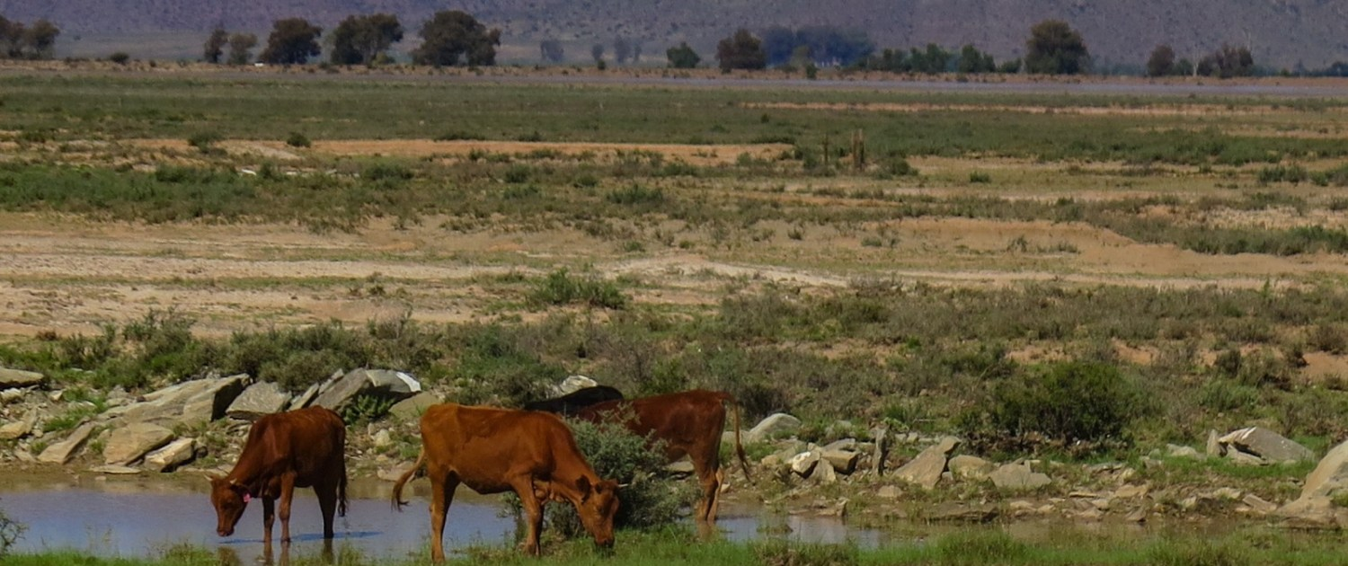 South Africa is in the grip of the deepest drought since the early 1960s. Crop land and pastures across the country, and here in the Karoo desert region near Graaff-reinet in Eastern Cape province, are experiencing extreme conditions of moisture scarcity. Photo © Keith Schneider / Circle of Blue.