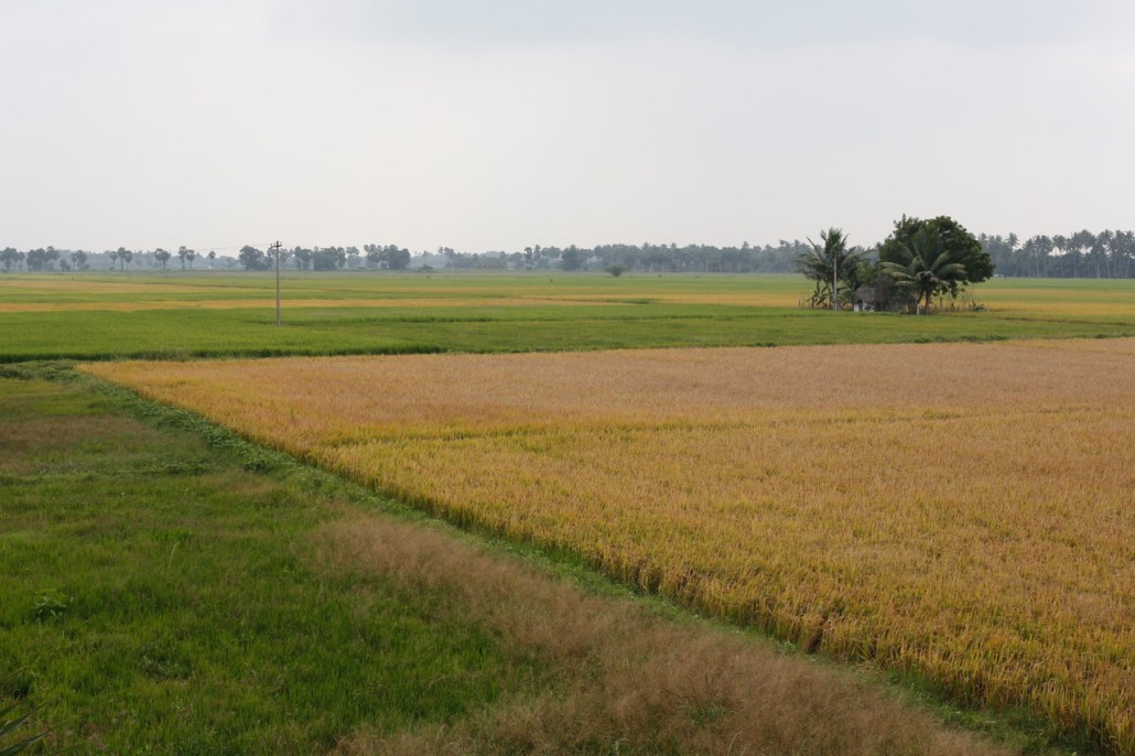 Drought in Tamil Nadu has ruined rice crops, even those that look green. Farmers that irrigate in the Cauvery Delta only form surface water supplies sustained total crop failures this year. Photo/Dhruv Malhotr