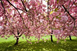 cherry blossoms2