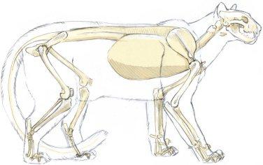 struttura scheletrica di un puma