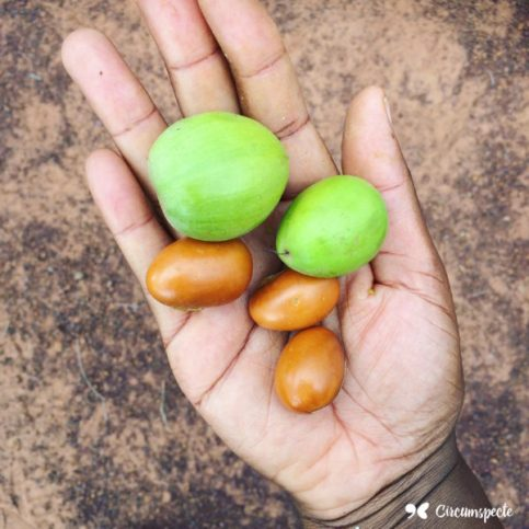 Shea fruit and nuts from a Sheanut farm in Tamale, Northern Ghana