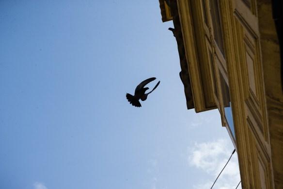 Landing pigeon, Valletta