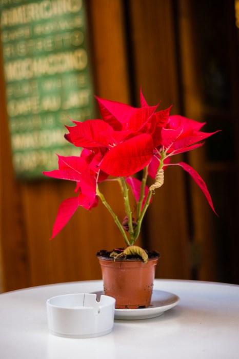 Sliema, Christmas, Flower, Poinsettia decorating a Cafe table