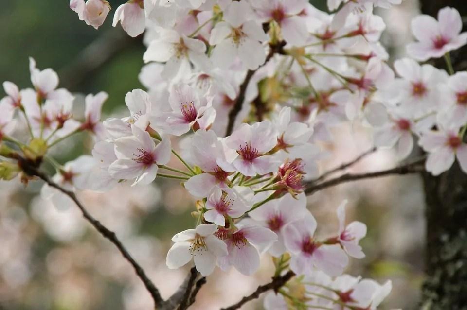 primavera frasi ciliegi