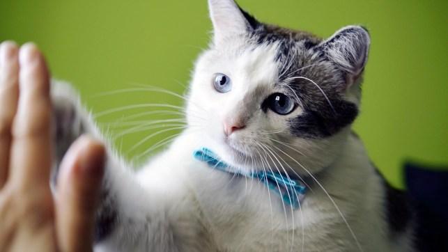 csokornyakkendős macska pacsit ad