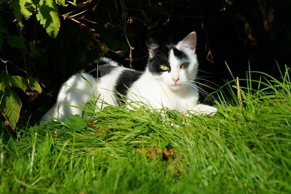 Fekete-fehér macska