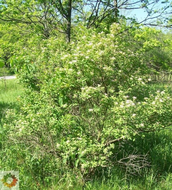 Amur Honeysuckle - Lonicera maackii - North American ...