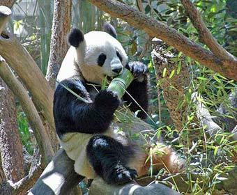 panda4.jpg
