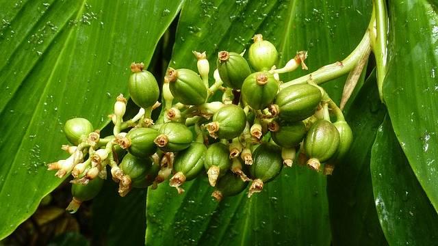 cosa sono i chicchi di caffè verde in tamilnadu