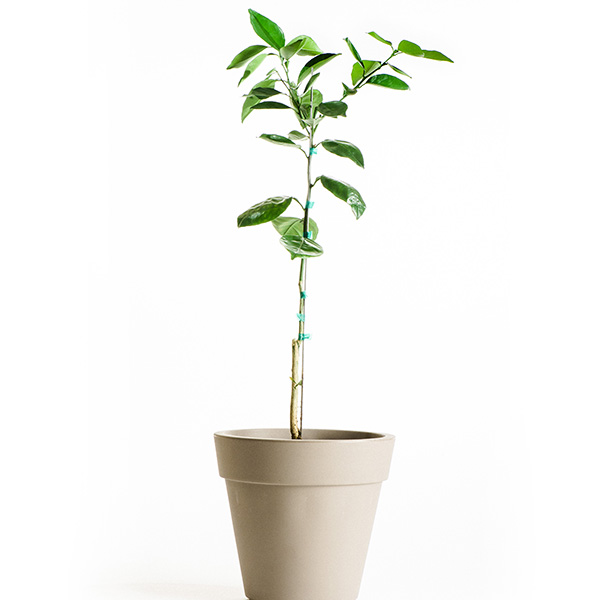 Dwarf Valencia Orange Tree (Age: 1 Year, Height: 18 - 26 IN)