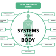 CBD oil uses and how it affects the Endocannabinoid System