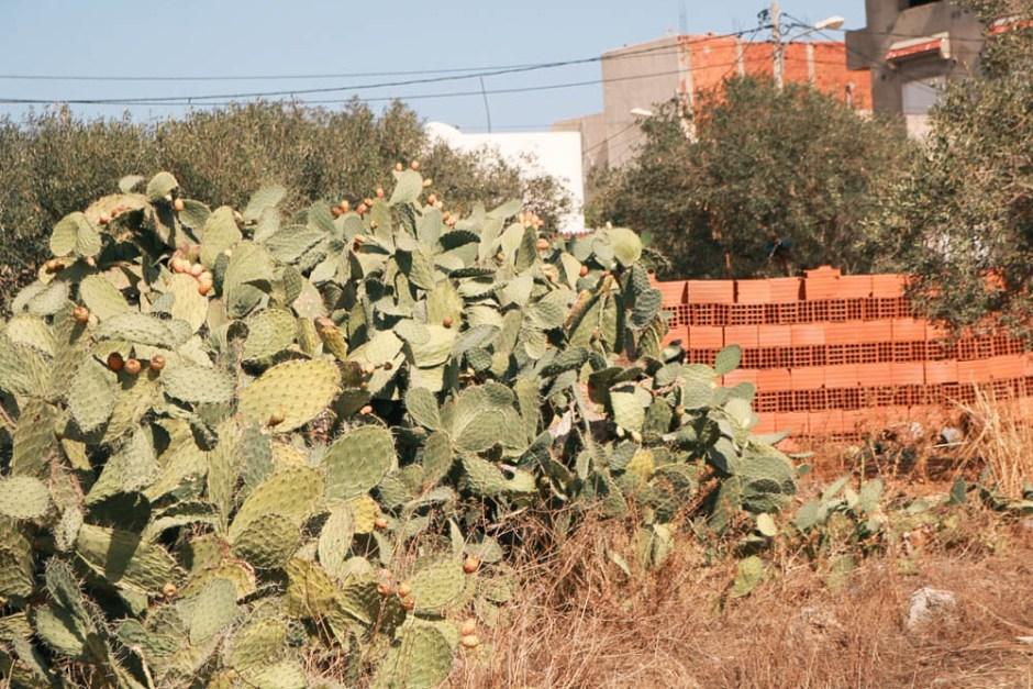 travel, traveling family, places to see, places to visit, africa, tunisia, tunisie, cactus pears, figue de barbarie