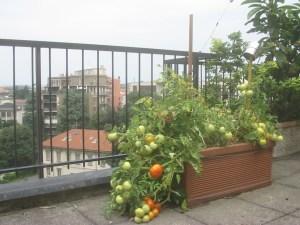 urban_tomato 003
