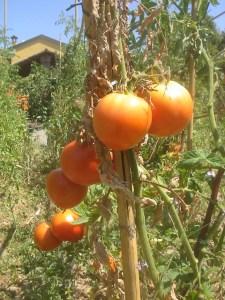 urban_tomatoes